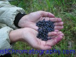 Forest Bilberry